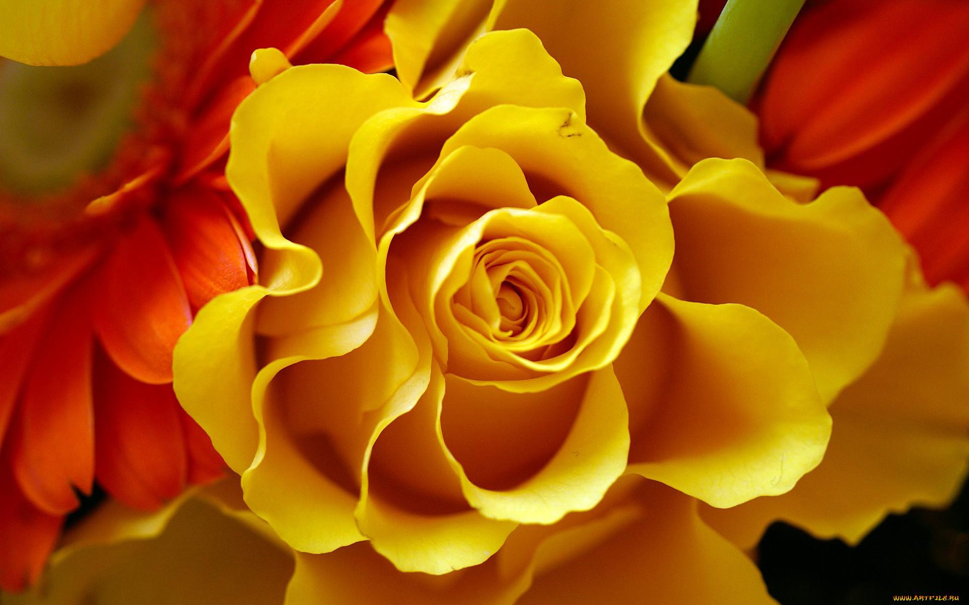 Желтые красивые цветы картинки